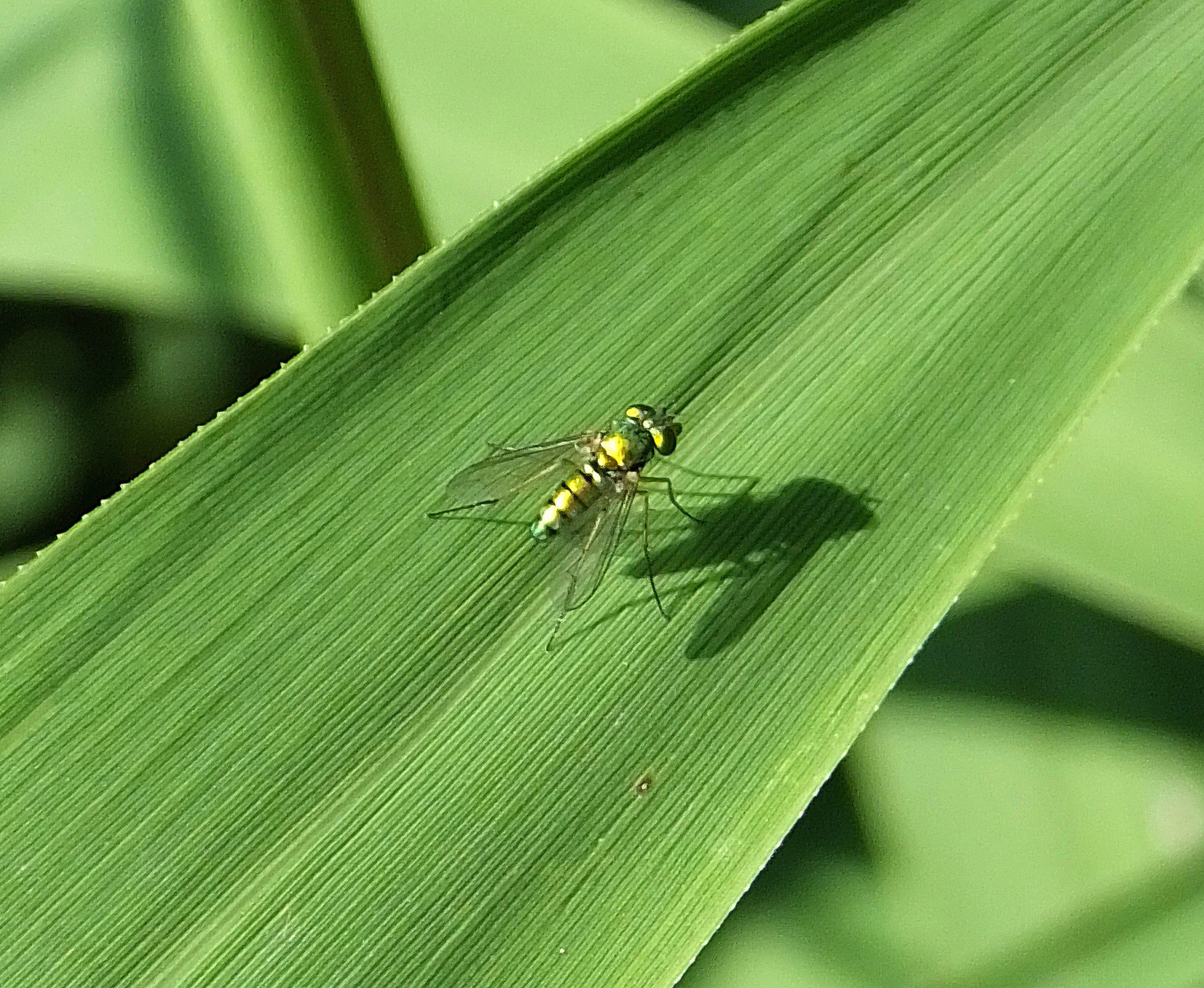 random insect long legged fly the life of your time. Black Bedroom Furniture Sets. Home Design Ideas