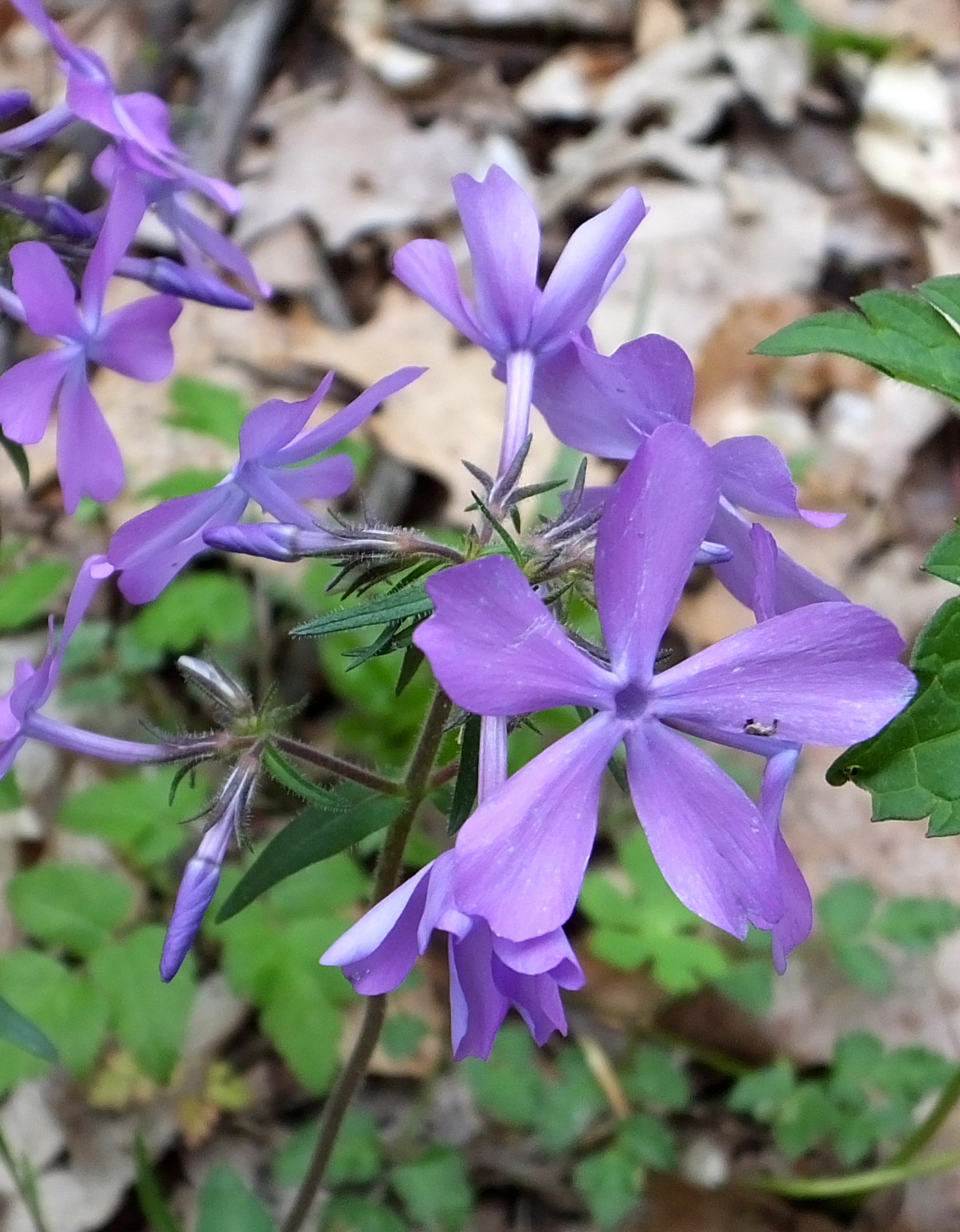 Random Plant: Wild blue phlox | The Life of Your Time