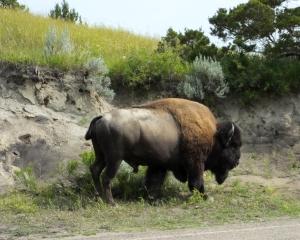 bison8