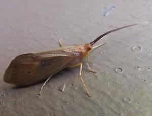 caddisfly1