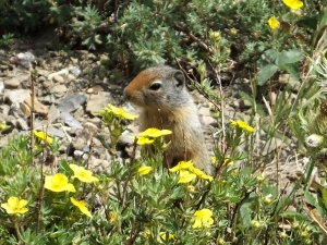 groundsquirrel2