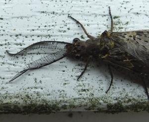 fishfly2