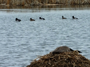 ducksgoose2