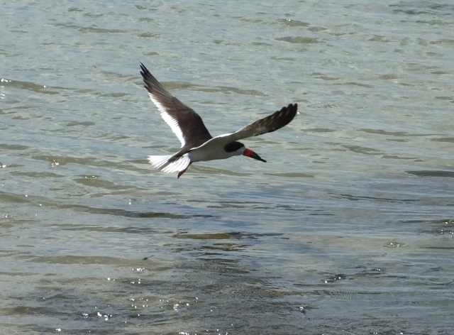 1blackskimmer2